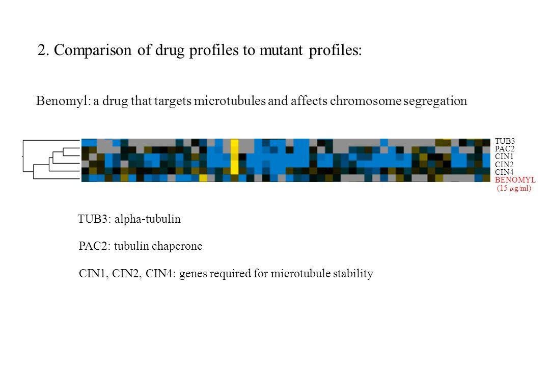 TUB3 PAC2 CIN1 CIN2 CIN4 BENOMYL (15  g/ml) Benomyl: a drug that targets microtubules and affects chromosome segregation CIN1, CIN2, CIN4: genes requ