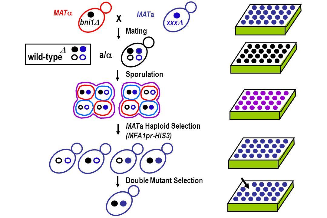 xxx  bni1  X Mating MAT  MAT a a/   wild-type Sporulation MAT a Haploid Selection (MFA1pr-HIS3) Double Mutant Selection