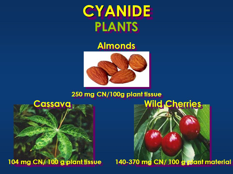 104 mg CN/ 100 g plant tissue 140-370 mg CN/ 100 g plant material Wild Cherries 250 mg CN/100g plant tissue CYANIDECYANIDE Cassava Almonds PLANTS
