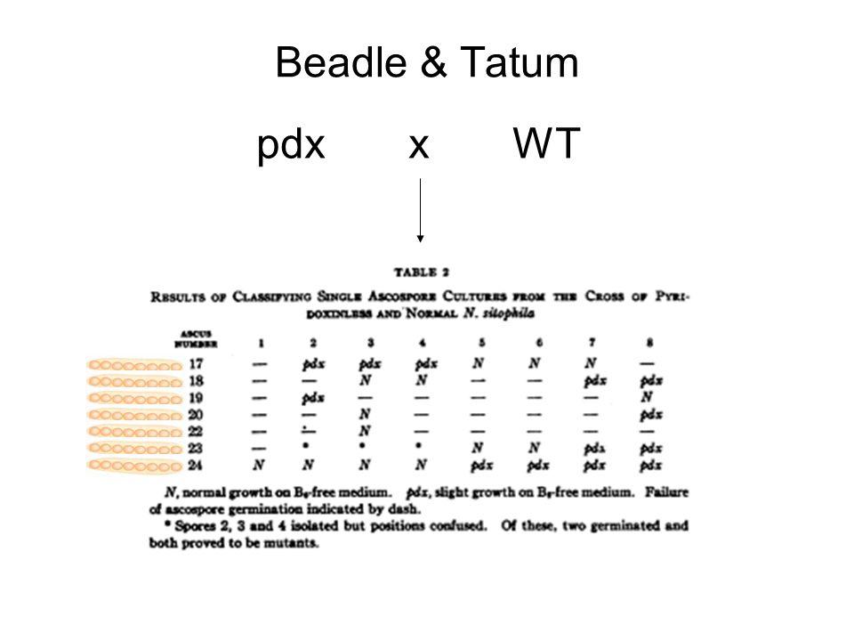 Beadle & Tatum pdx xWT