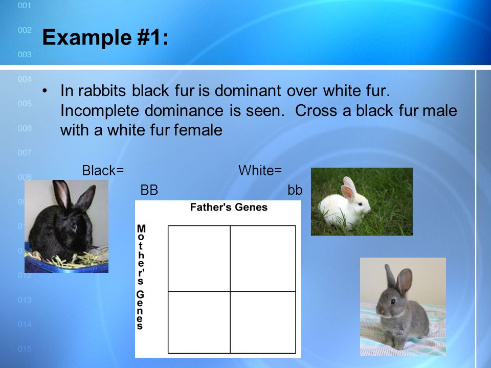 5/11/2015 Example #1: In rabbits black fur is dominant over white fur. Incomplete dominance is seen. Cross a black fur male with a white fur female Bl