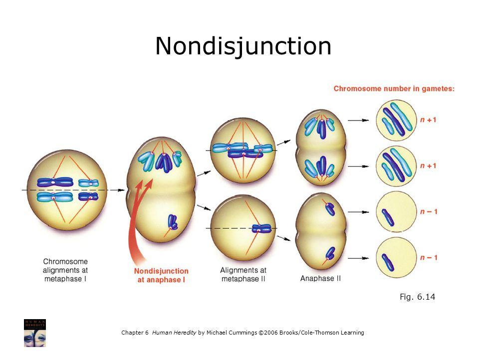 Chapter 6 Human Heredity by Michael Cummings ©2006 Brooks/Cole-Thomson Learning Fig. 6.14 Nondisjunction