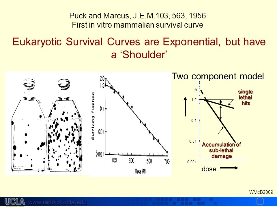 www.radbiol.ucla.edu WMcB2009 Puck and Marcus, J.E.M.103, 563, 1956 First in vitro mammalian survival curve 1.00.10.010.001 Accumulation of sub-lethaldamage singlelethalhits n dose Two component model Eukaryotic Survival Curves are Exponential, but have a 'Shoulder'
