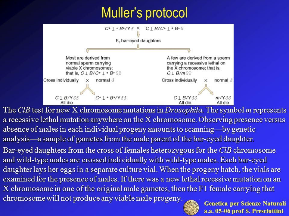 Genetica per Scienze Naturali a.a. 05-06 prof S. Presciuttini Muller's protocol The ClB test for new X chromosome mutations in Drosophila. The symbol