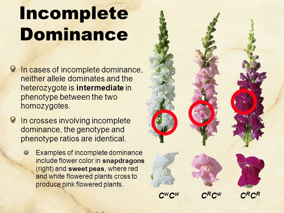 Incomplete Dominance In cases of incomplete dominance, neither allele dominates and the heterozygote is intermediate in phenotype between the two homozygotes.