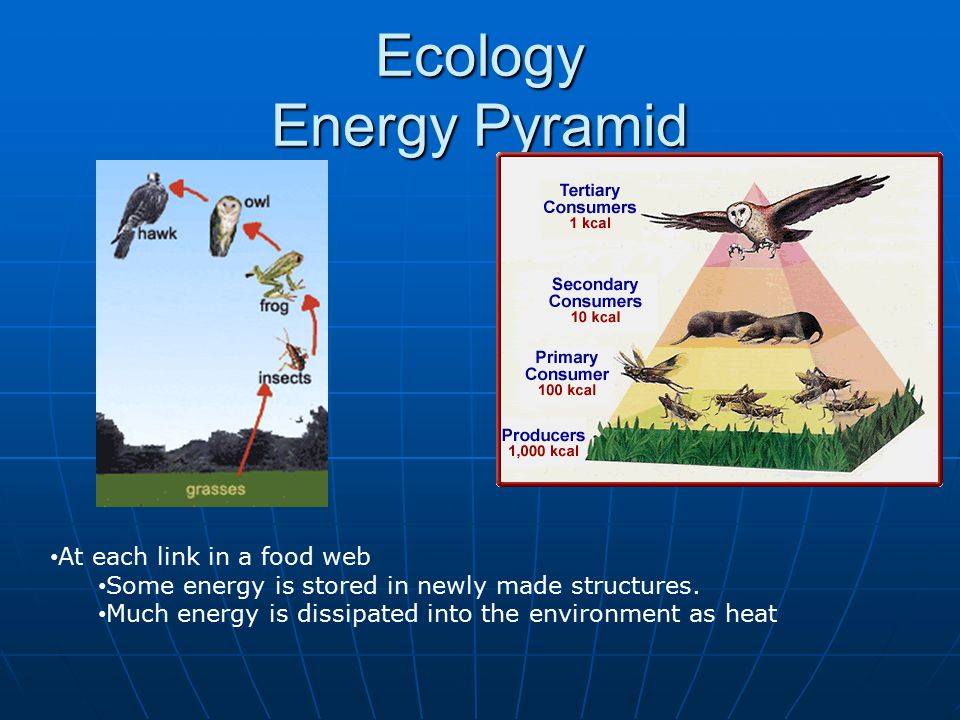 Ecology Energy Pyramid At each link in a food web Some energy is stored in newly made structures.