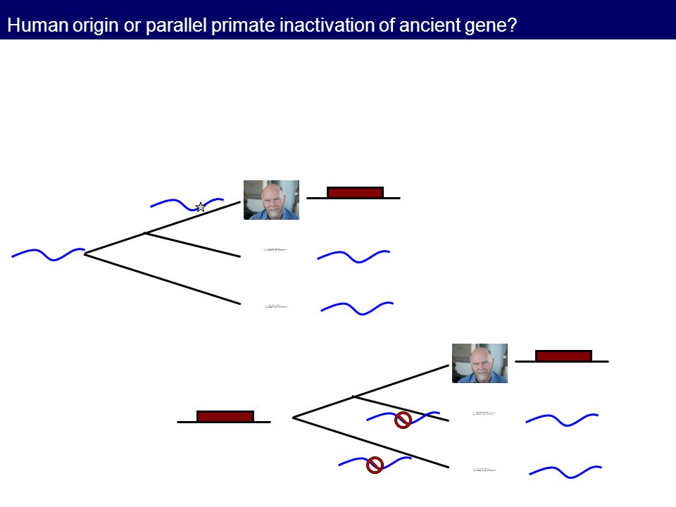 Human origin or parallel primate inactivation of ancient gene?