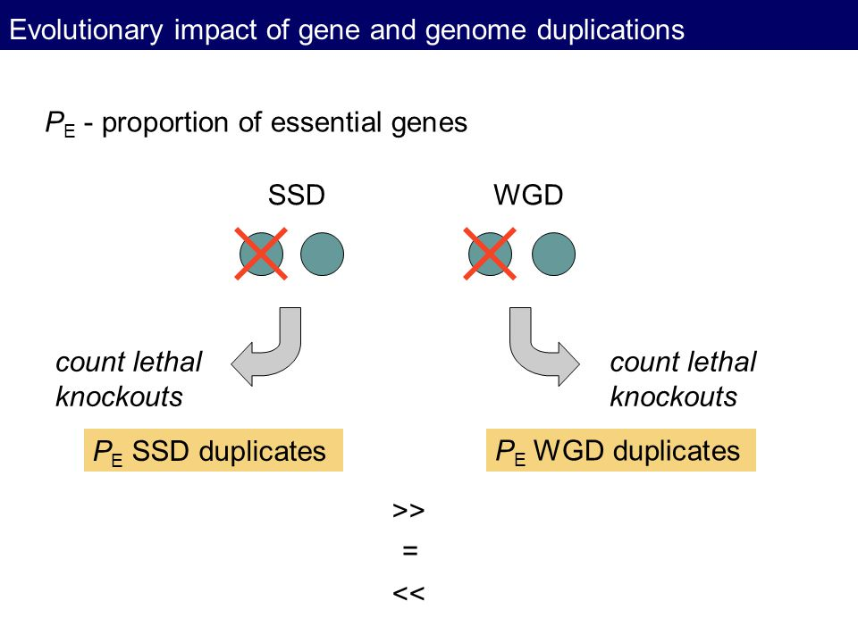 Evolutionary impact of gene and genome duplications P E - proportion of essential genes SSDWGD count lethal knockouts count lethal knockouts P E SSD d