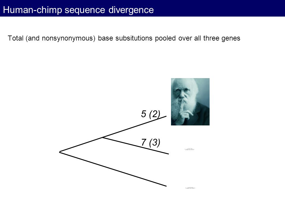 Human-chimp sequence divergence Total (and nonsynonymous) base subsitutions pooled over all three genes 5 (2) 7 (3)