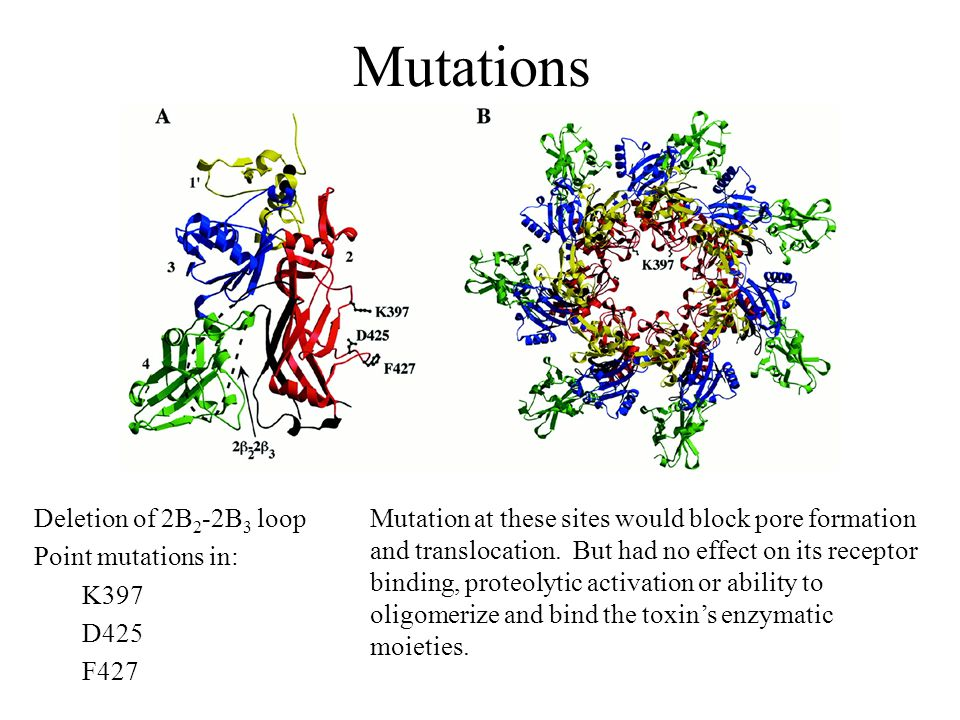 Mutations Deletion of 2B 2 -2B 3 loop Point mutations in: K397 D425 F427 Mutation at these sites would block pore formation and translocation. But had