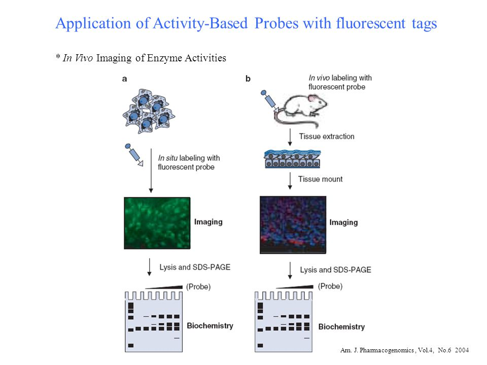 Application of Activity-Based Probes with fluorescent tags * In Vivo Imaging of Enzyme Activities Am. J. Pharmacogenomics, Vol.4, No.6 2004