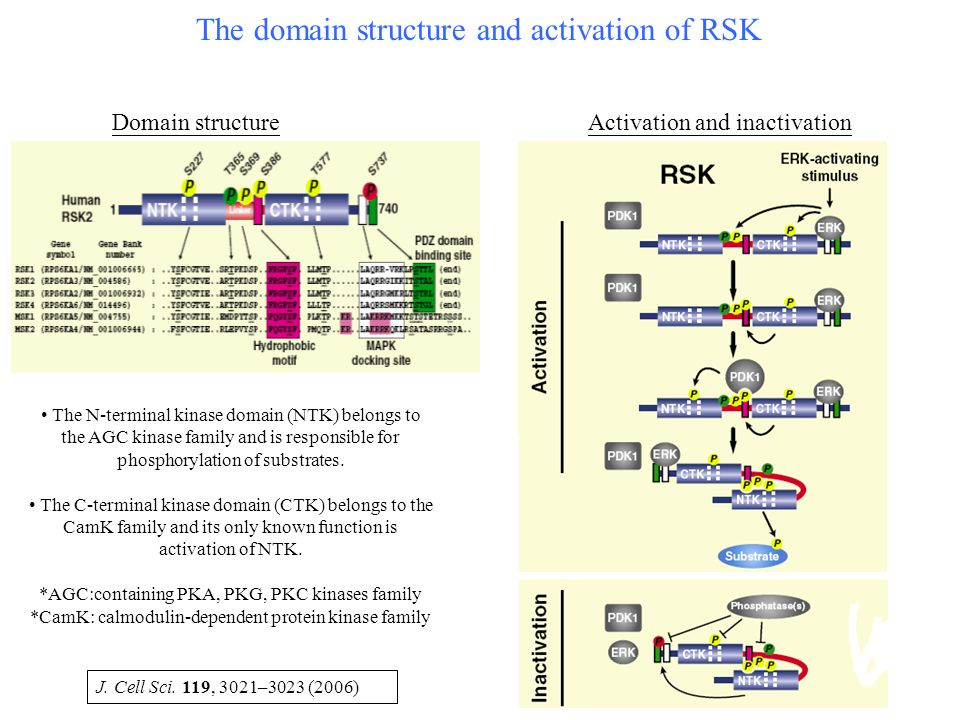 The domain structure and activation of RSK Domain structureActivation and inactivation The N-terminal kinase domain (NTK) belongs to the AGC kinase fa