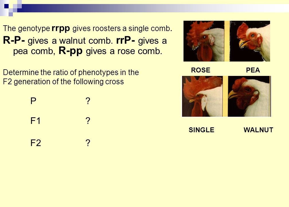 The genotype rrpp gives roosters a single comb. R-P- gives a walnut comb.