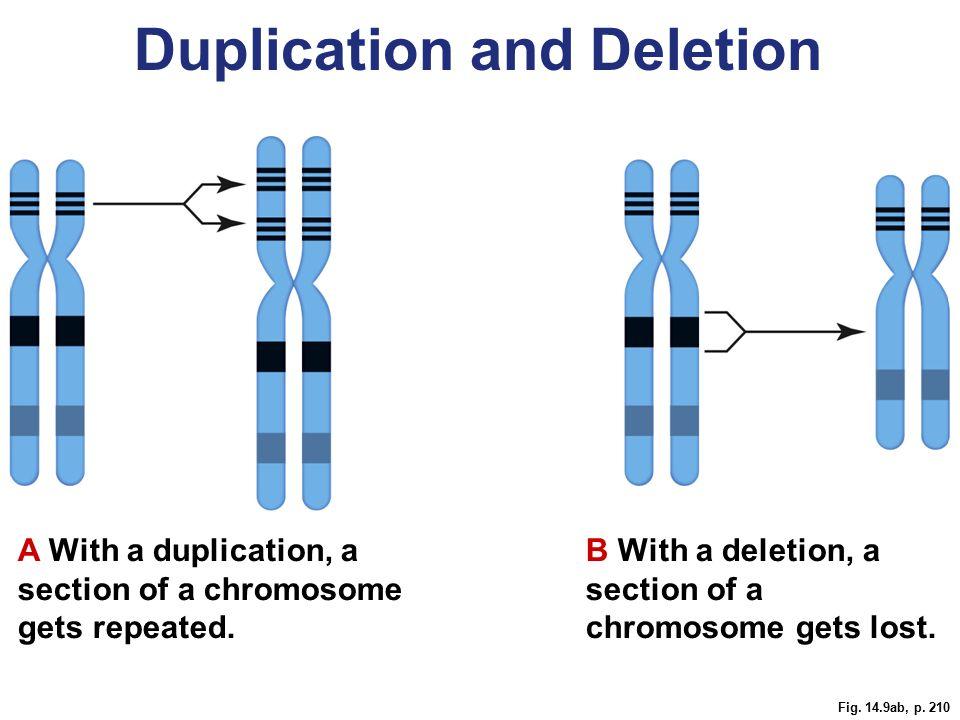 Fig. 14.11, p. 211 chimpanzeehuman telomere sequence Human Evolution