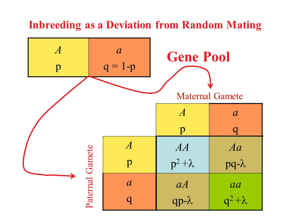 Inbreeding as a Deviation from Random Mating ApAp aqaq ApAp AA p 2 + Aa pq- aqaq aA qp- aa q 2 + ApAp a q = 1-p Maternal Gamete Paternal Gamete Gene Pool