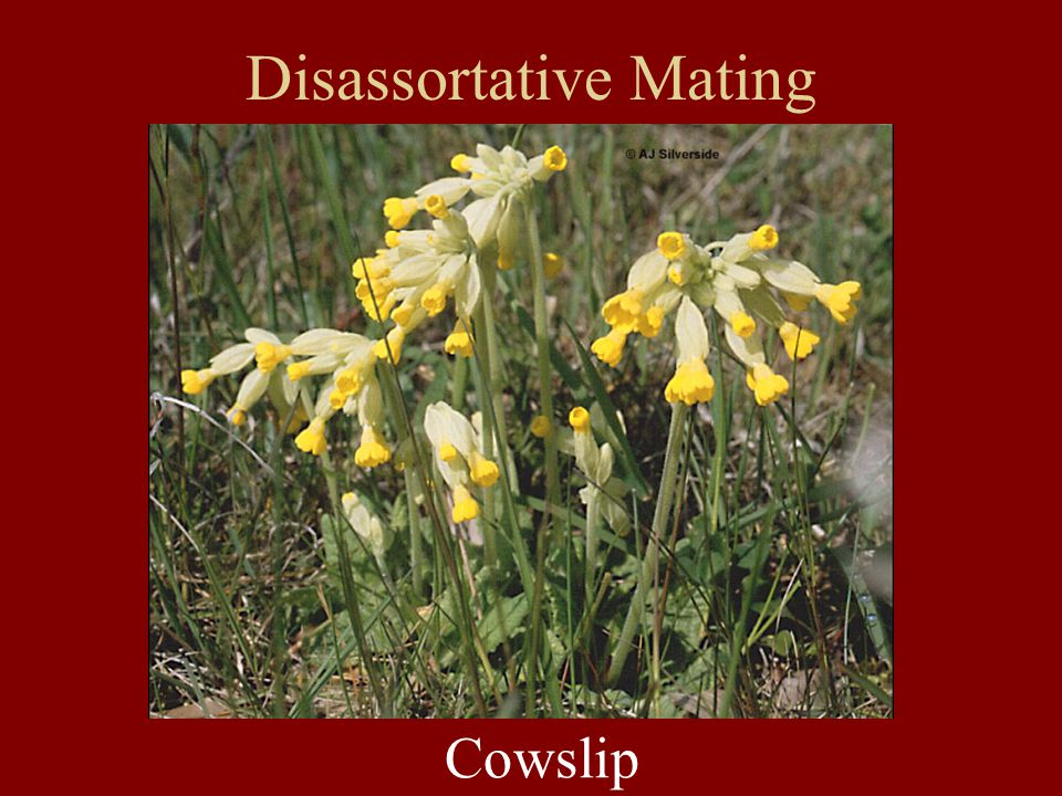 Disassortative Mating Cowslip