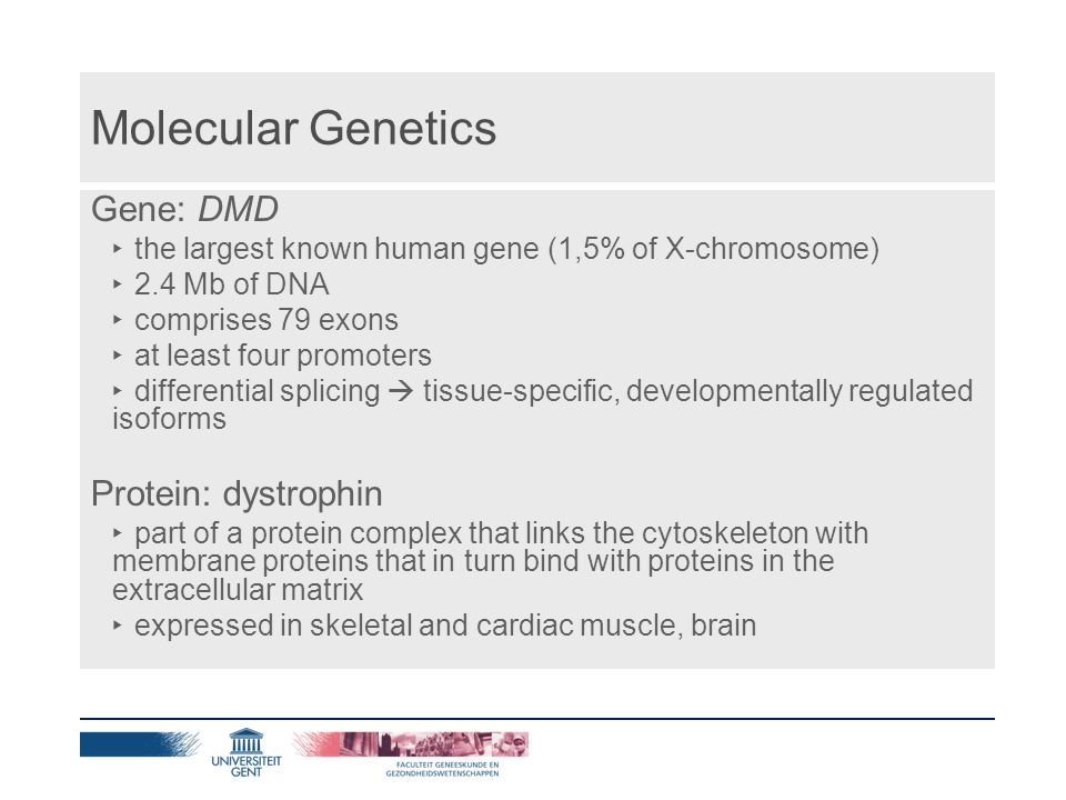 Molecular Genetics Gene: DMD ‣ the largest known human gene (1,5% of X-chromosome) ‣ 2.4 Mb of DNA ‣ comprises 79 exons ‣ at least four promoters ‣ differential splicing  tissue-specific, developmentally regulated isoforms Protein: dystrophin ‣ part of a protein complex that links the cytoskeleton with membrane proteins that in turn bind with proteins in the extracellular matrix ‣ expressed in skeletal and cardiac muscle, brain