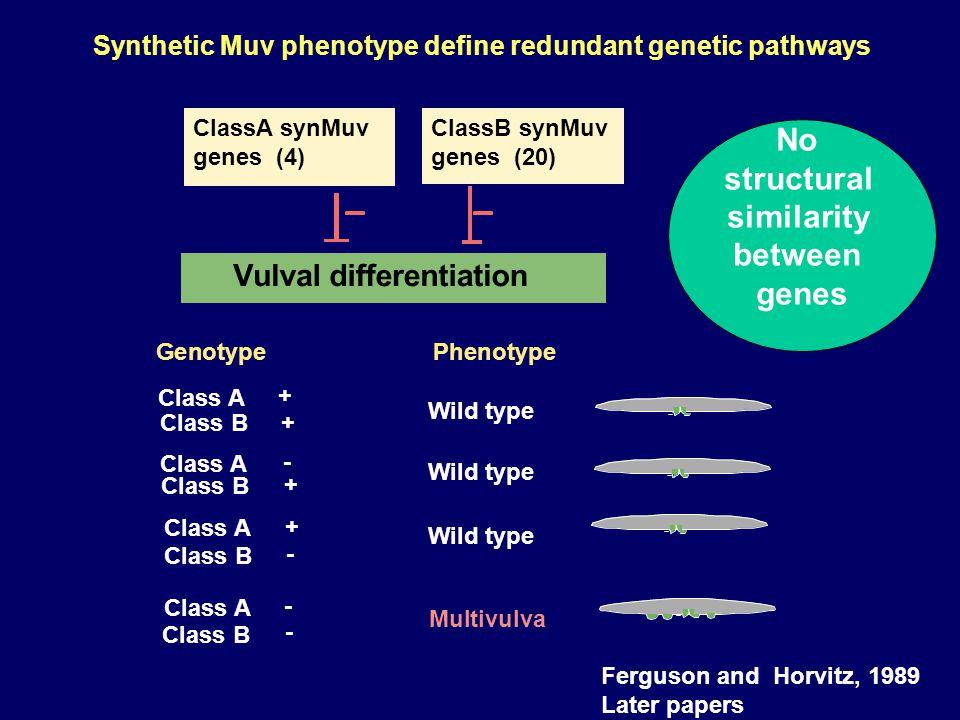 Discovery of synMuv genes Wild type Multivulva mutagen Genotype Phenotype lin-8(-)wild type lin-9(-)wild type lin-8(-) & lin-9(-)Multivulva Horvitz and Sulston 1980