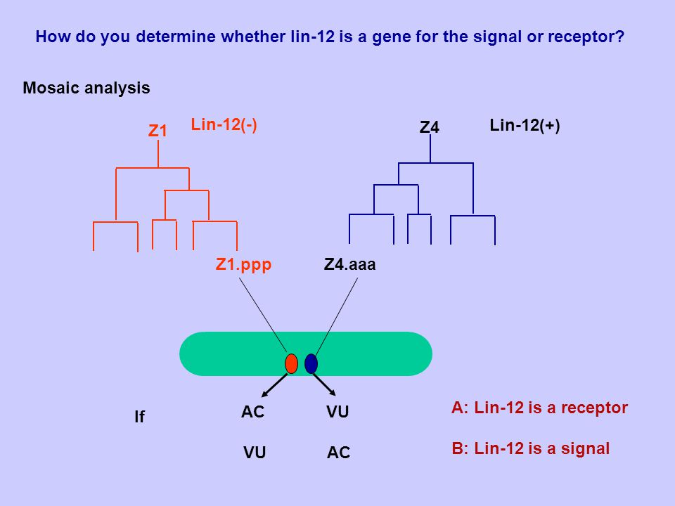 lin-12 lin-12: A: promoting VU. B: inhibit AC. C: either.