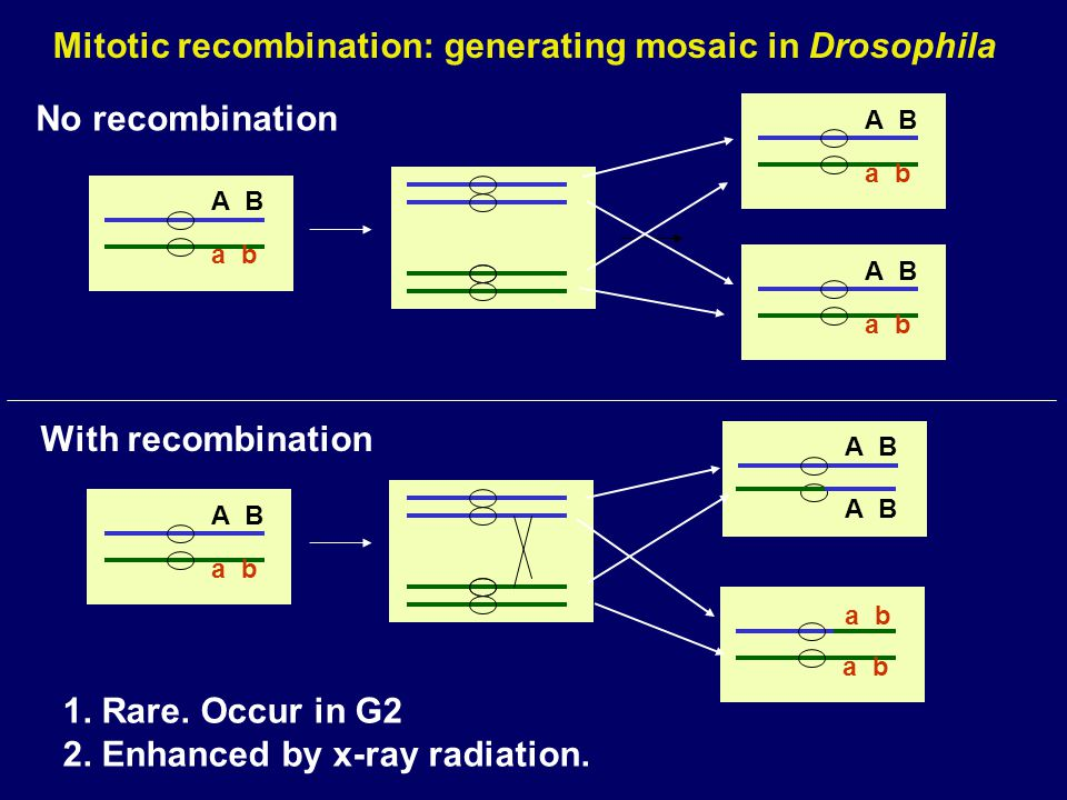 Somatic Recombination * * * * ** * * * *