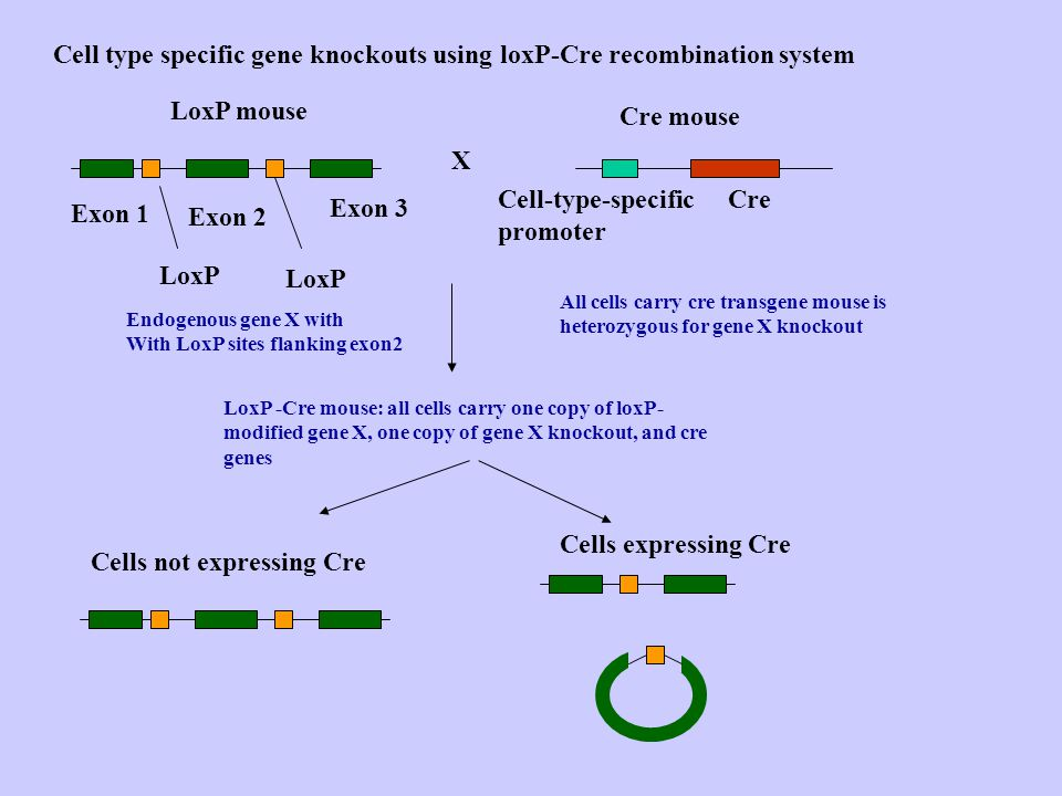 * Induction of mitotic recombination at the FRT site, e.g.