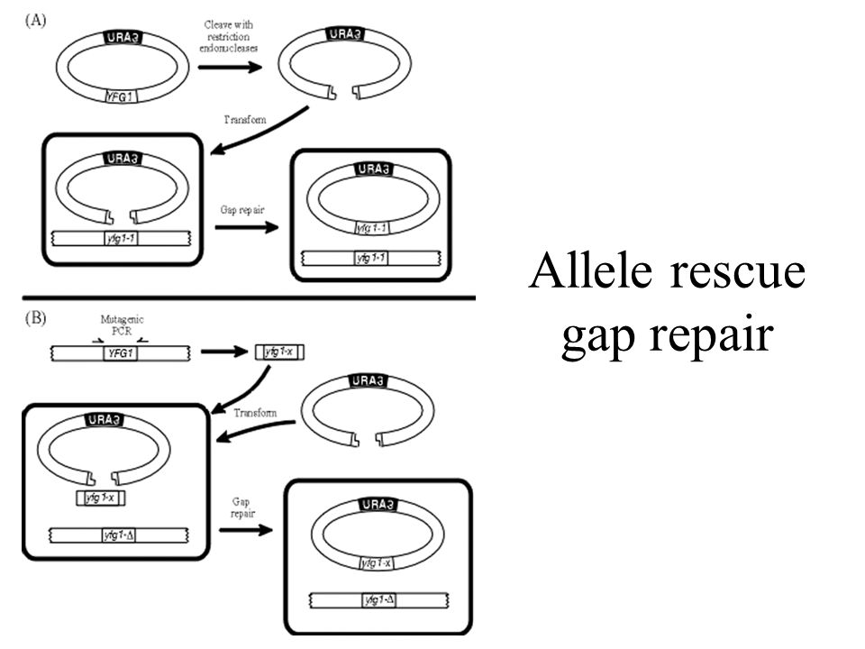 Allele rescue gap repair