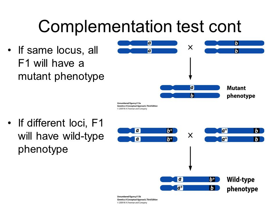 Complementation test cont If same locus, all F1 will have a mutant phenotype If different loci, F1 will have wild-type phenotype