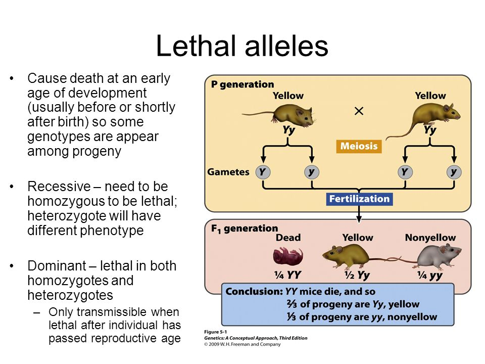 Lethal alleles Cause death at an early age of development (usually before or shortly after birth) so some genotypes are appear among progeny Recessive