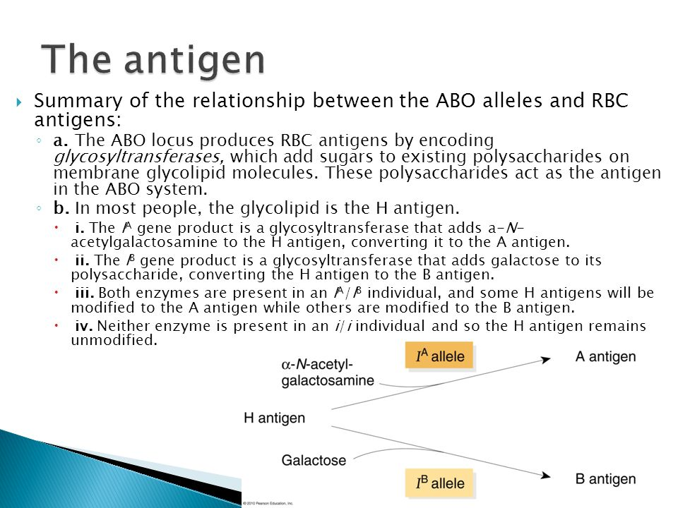  Summary of the relationship between the ABO alleles and RBC antigens: ◦ a.The ABO locus produces RBC antigens by encoding glycosyltransferases, whic