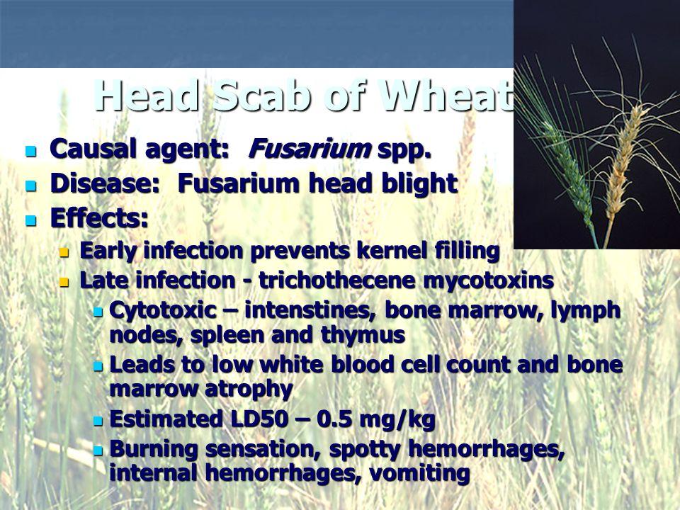 Causal agent: Fusarium spp. Causal agent: Fusarium spp.
