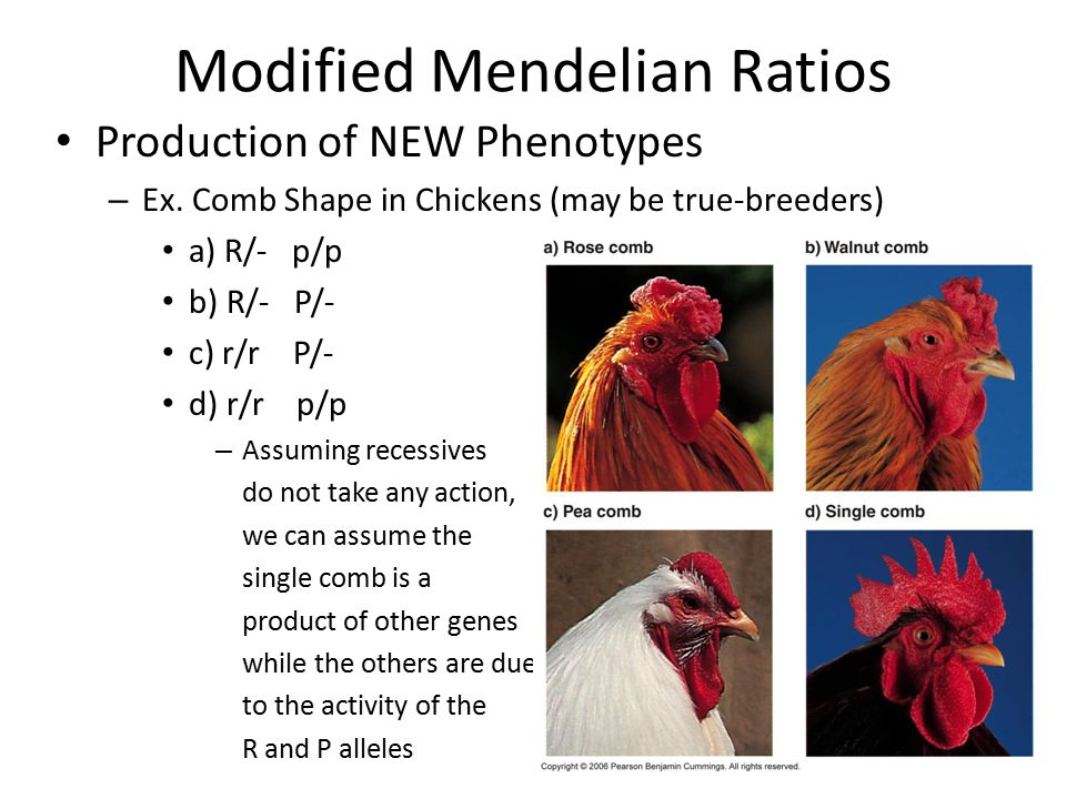 Modified Mendelian Ratios Production of NEW Phenotypes – Ex. Comb Shape in Chickens (may be true-breeders) a) R/- p/p b) R/- P/- c) r/r P/- d) r/r p/p