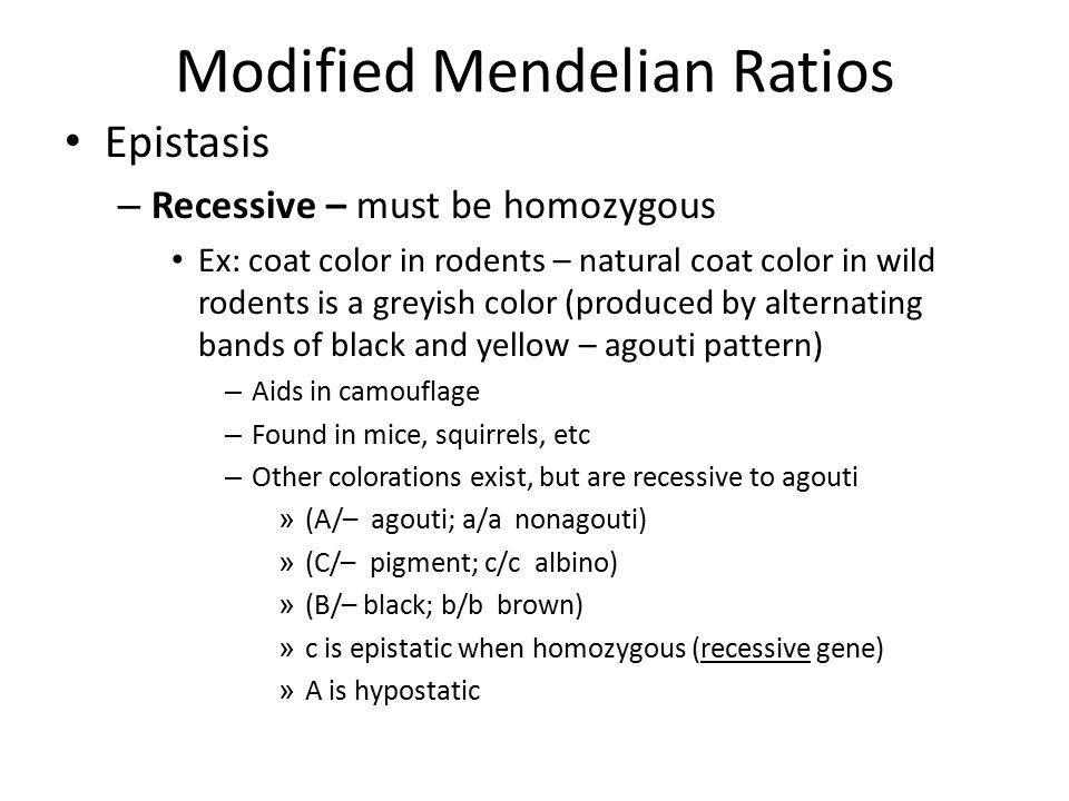 Modified Mendelian Ratios Epistasis – Recessive – must be homozygous Ex: coat color in rodents – natural coat color in wild rodents is a greyish color