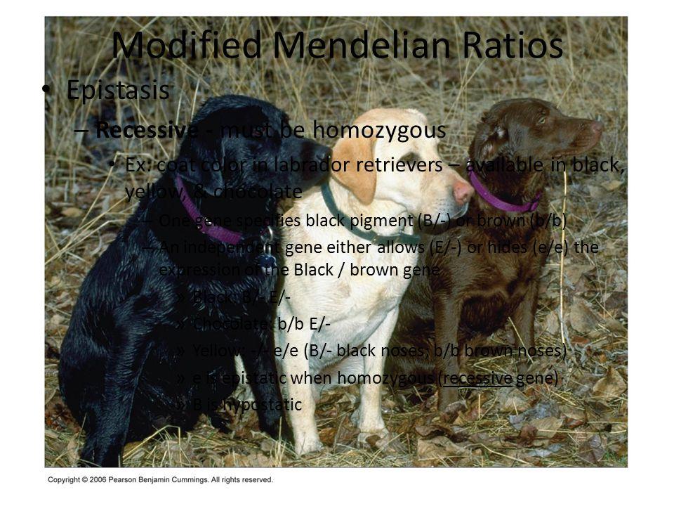 Modified Mendelian Ratios Epistasis – Recessive - must be homozygous Ex: coat color in labrador retrievers – available in black, yellow, & chocolate –