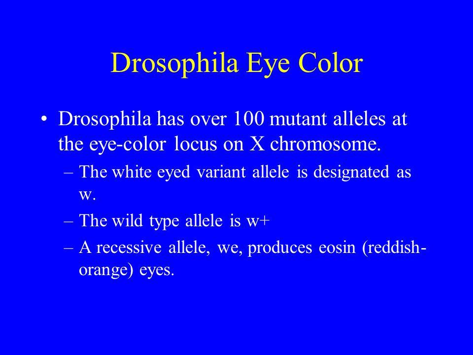 Drosophila Eye Color Drosophila has over 100 mutant alleles at the eye-color locus on X chromosome. –The white eyed variant allele is designated as w.