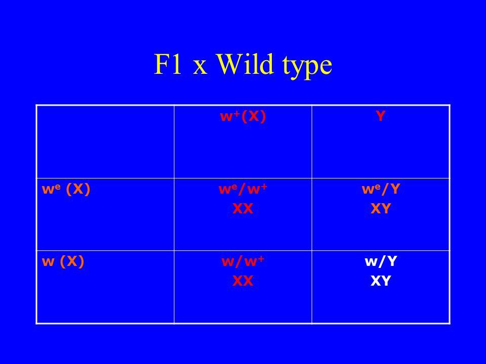 F1 x Wild type w + (X)Y w e (X)w e /w + XX w e /Y XY w (X)w/w + XX w/Y XY