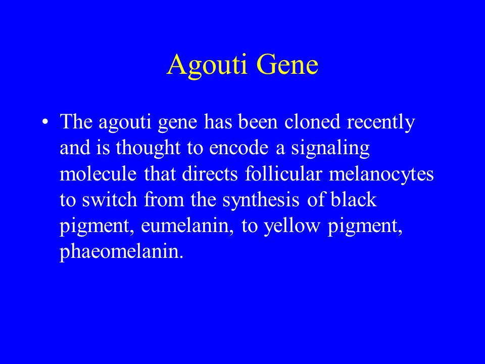 Agouti Gene The agouti gene has been cloned recently and is thought to encode a signaling molecule that directs follicular melanocytes to switch from