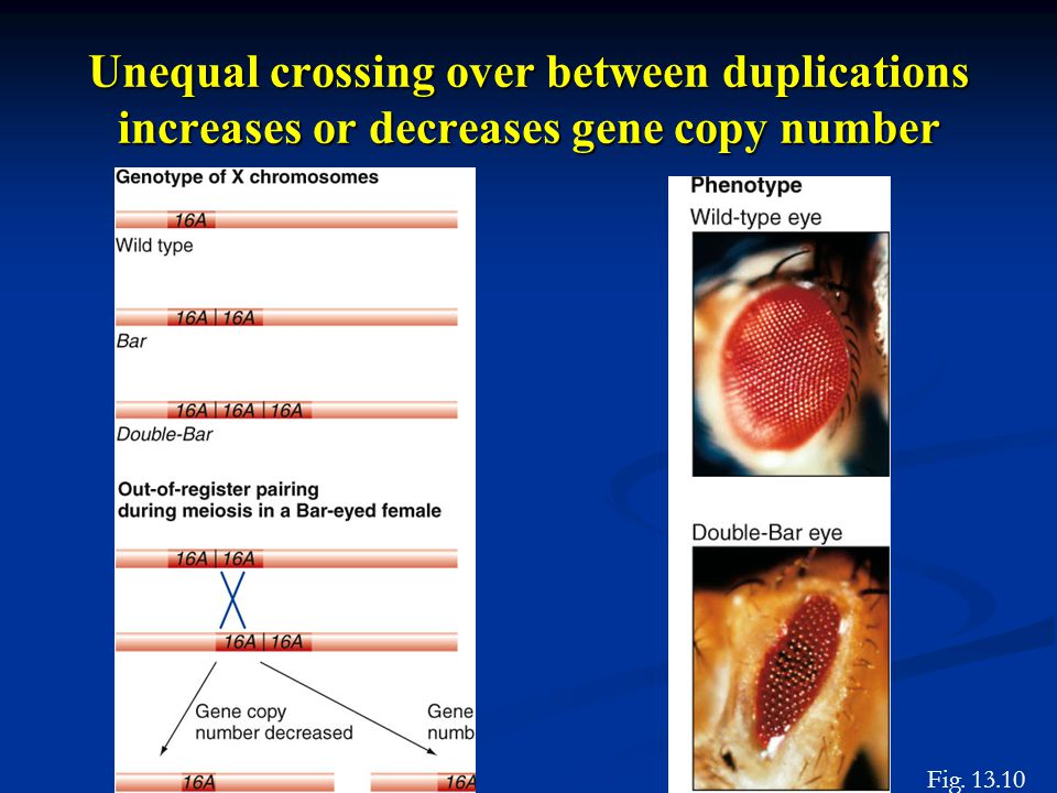 Unequal crossing over between duplications increases or decreases gene copy number Fig. 13.10