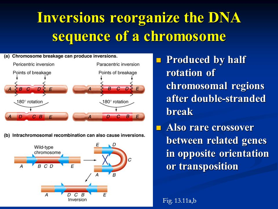Inversions reorganize the DNA sequence of a chromosome Produced by half rotation of chromosomal regions after double-stranded break Produced by half r