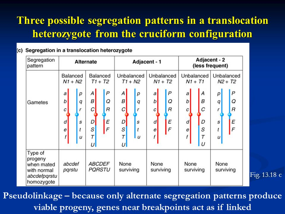 Three possible segregation patterns in a translocation heterozygote from the cruciform configuration Pseudolinkage – because only alternate segregatio