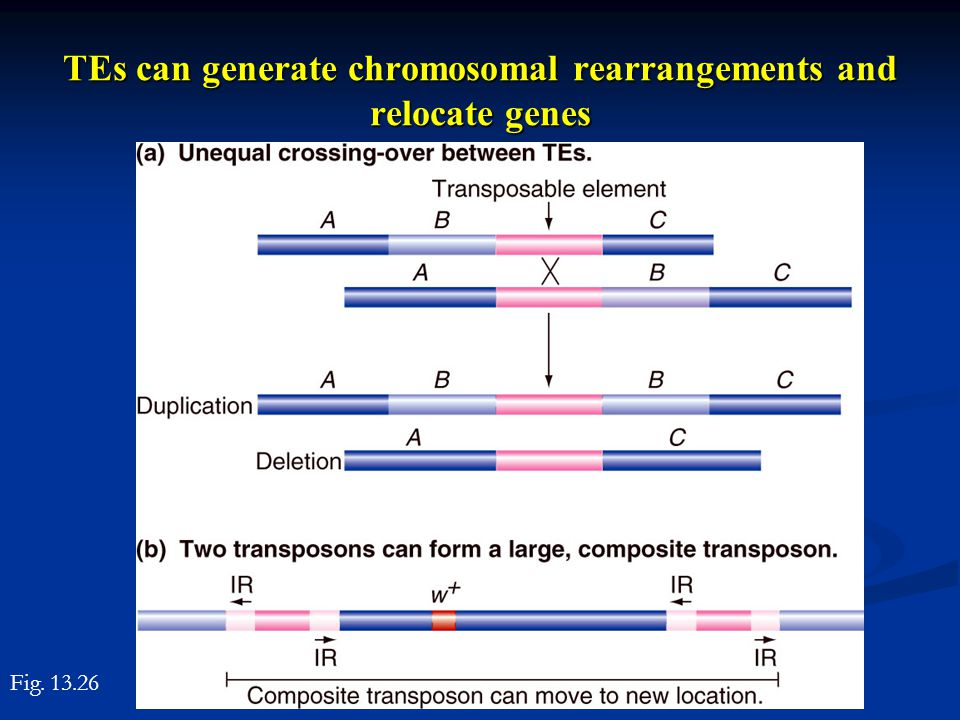 TEs can generate chromosomal rearrangements and relocate genes Fig. 13.26