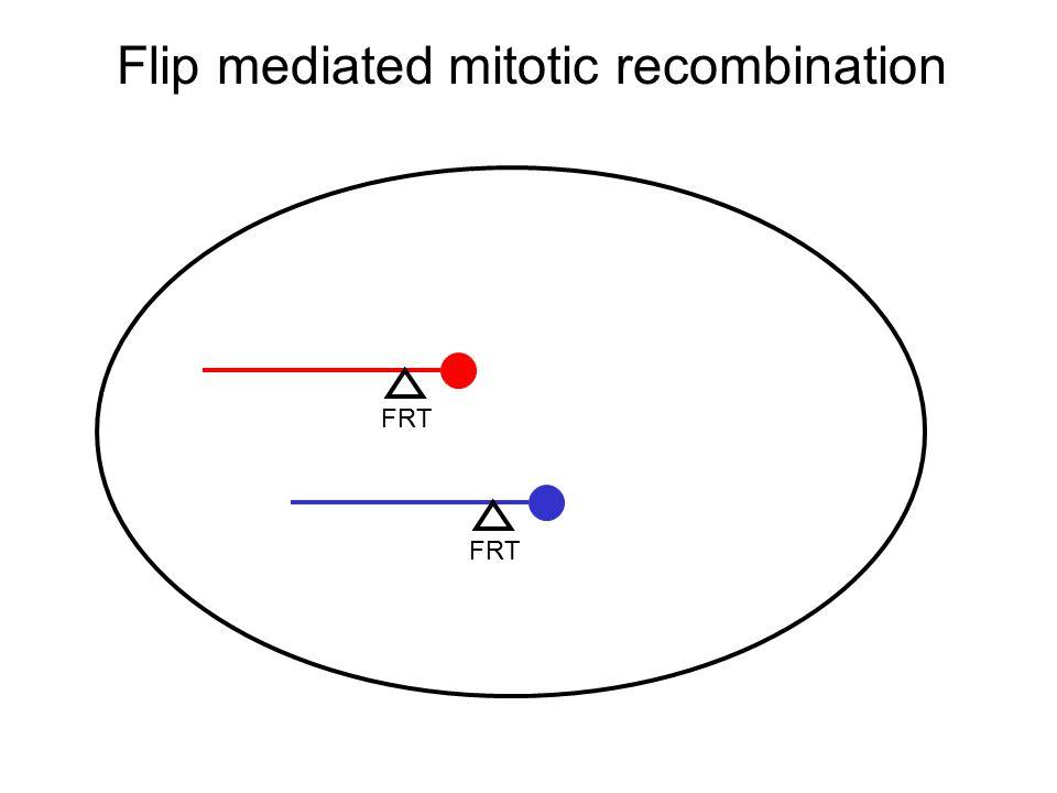 Flip mediated mitotic recombination FRT