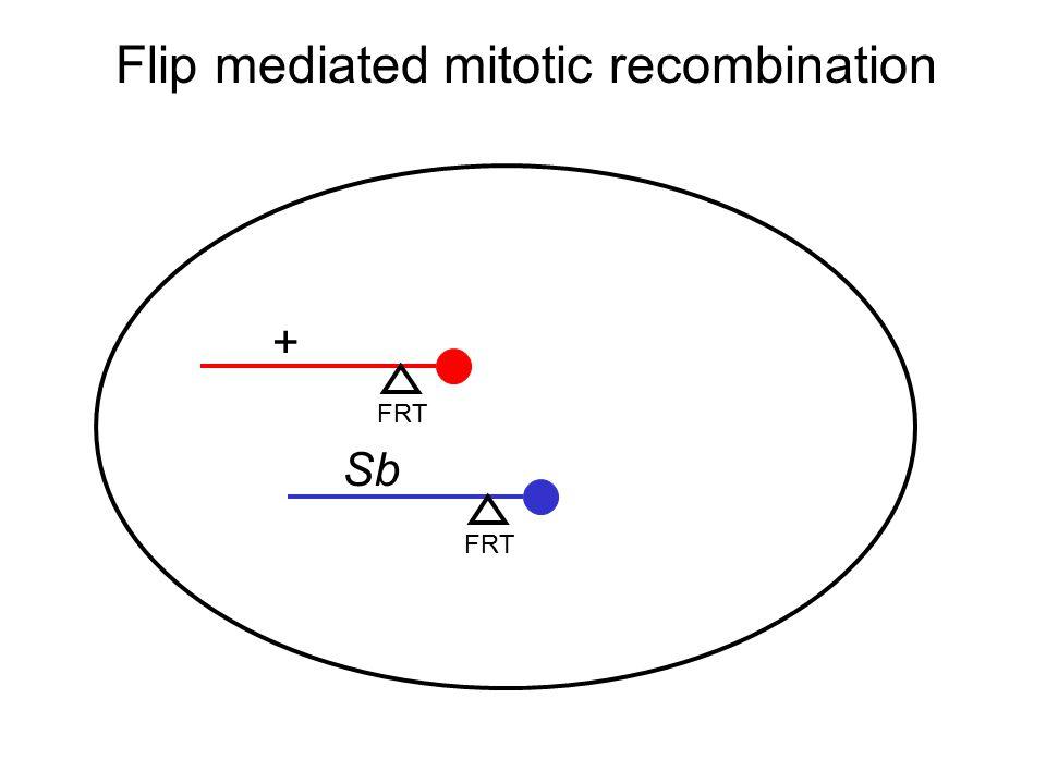 Flip mediated mitotic recombination FRT + Sb
