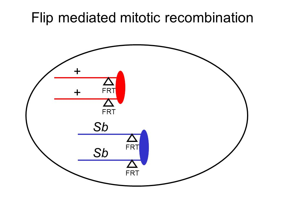 Flip mediated mitotic recombination FRT + Sb + FRT Sb FRT