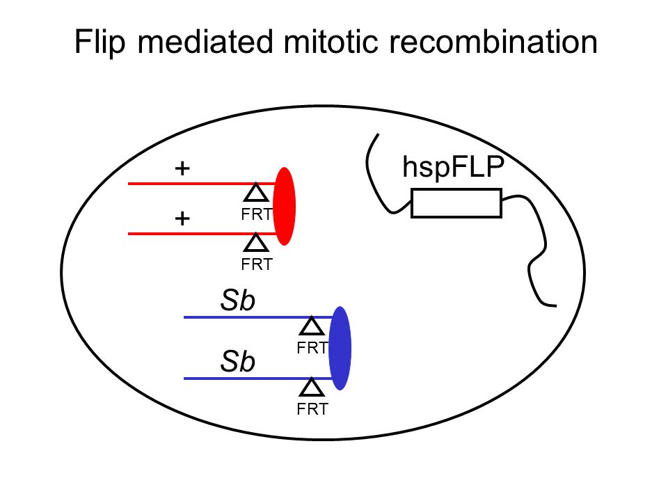 Flip mediated mitotic recombination FRT + Sb + FRT Sb hspFLP FRT