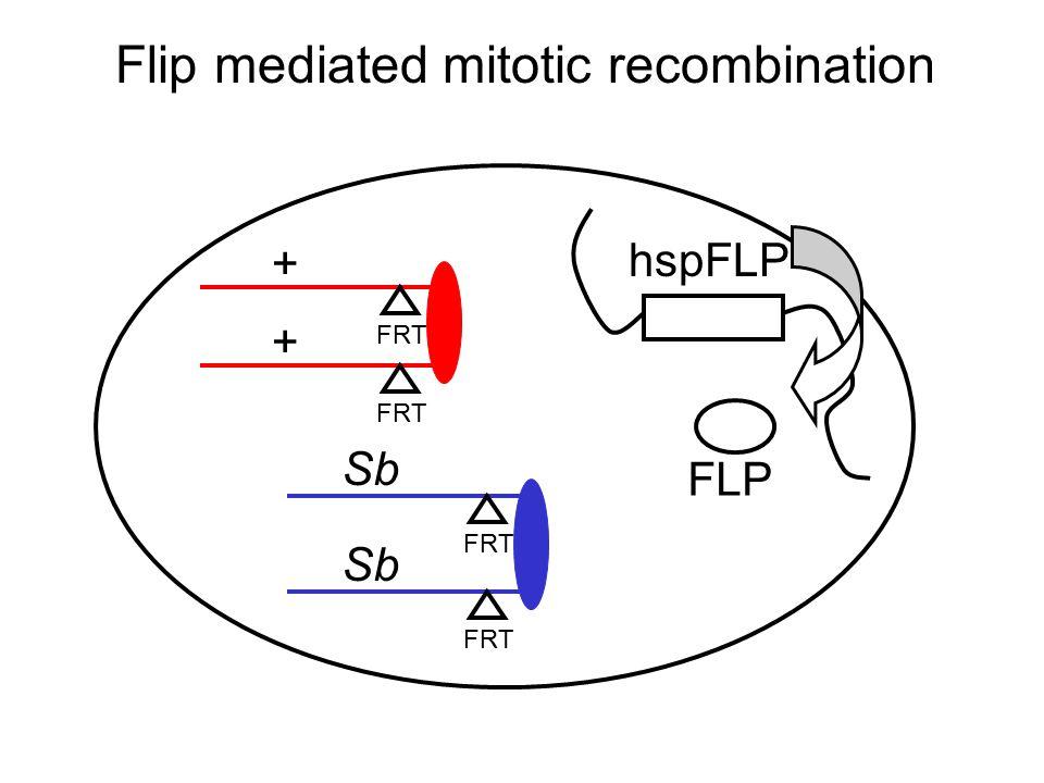 Flip mediated mitotic recombination FRT + Sb + FRT Sb hspFLP FRT FLP