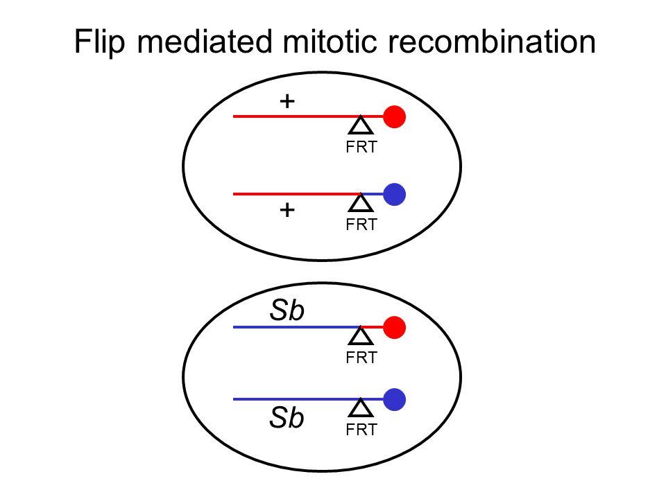 Flip mediated mitotic recombination FRT + Sb FRT + Sb