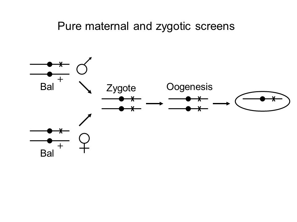 + Bal + Zygote Oogenesis Pure maternal and zygotic screens