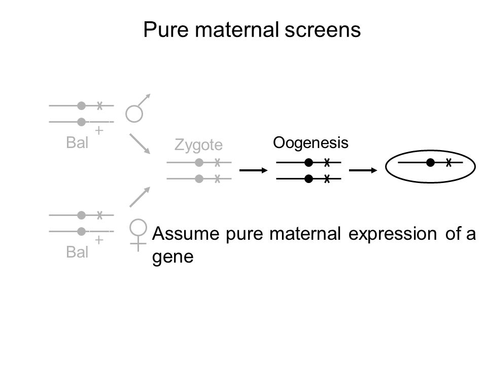 + Bal + Zygote Oogenesis Pure maternal screens Assume pure maternal expression of a gene