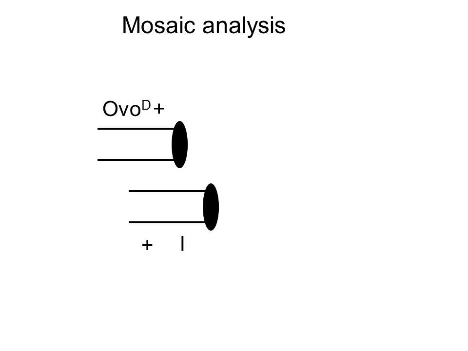 Ovo D l + + Mosaic analysis