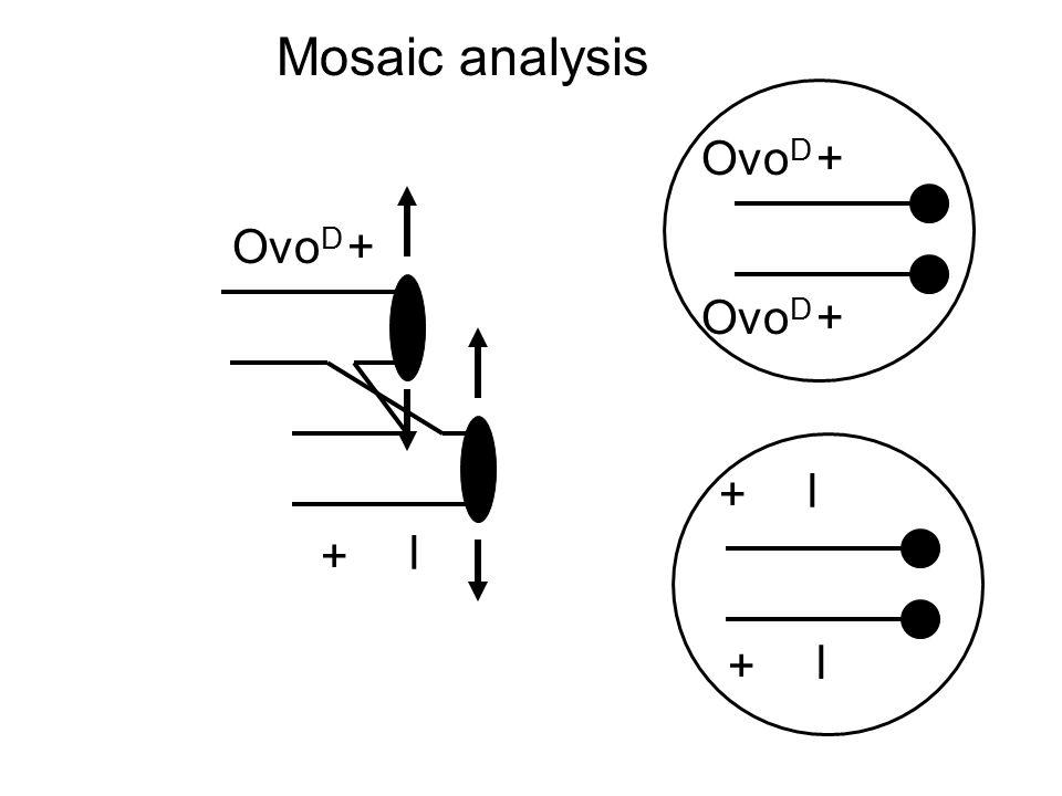 Ovo D l + + l + + l + + Mosaic analysis
